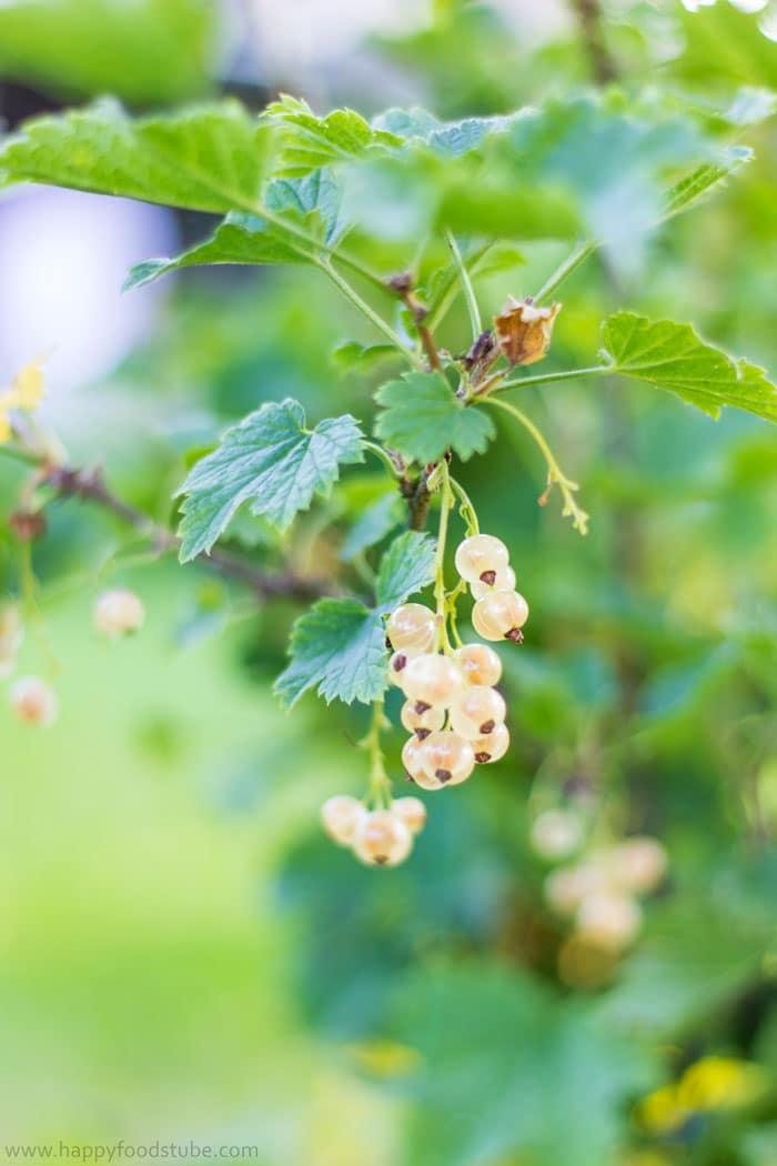 White-Currant-Organic-Gardening